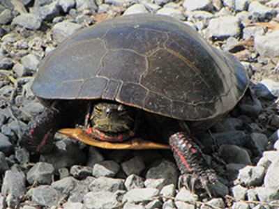 Using Lake Michigan turtles to measure wetland pollution