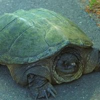 Turtles Help Monitor Ecological Health Of Great Lakes