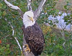 In Nest Cam Eagle