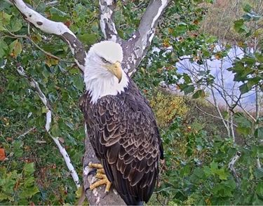 Live Bald Eagle Cam // Environmental Change Initiative