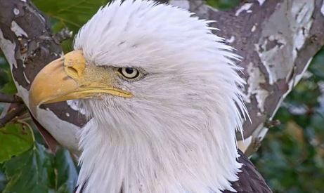 Live Bald Eagle Cam Environmental Change Initiative