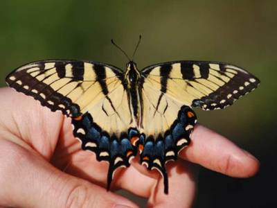 As climate changes, so could the genes of the Eastern tiger swallowtail butterfly